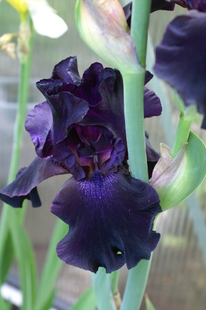 Iris germanica 'Superstition'