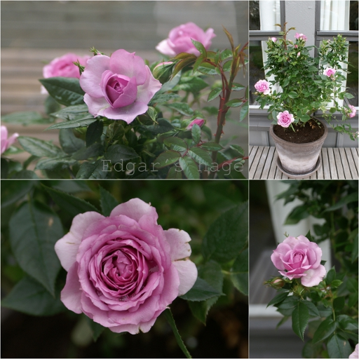 Rose 'Lavender Flower Circus'
