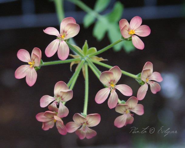 Gibbosina Bicolor