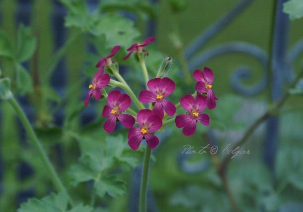 Gibbosina Violet