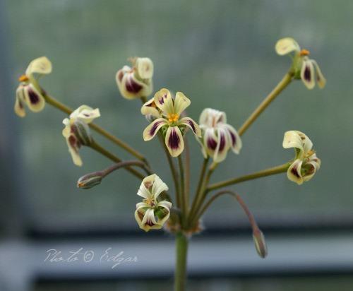 P. pulverulentum