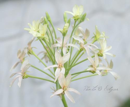 P. luridum