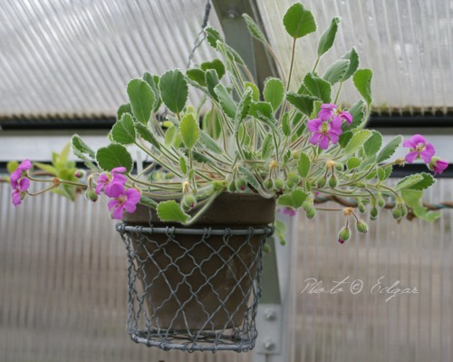 P. ovale ssp. hyalinum