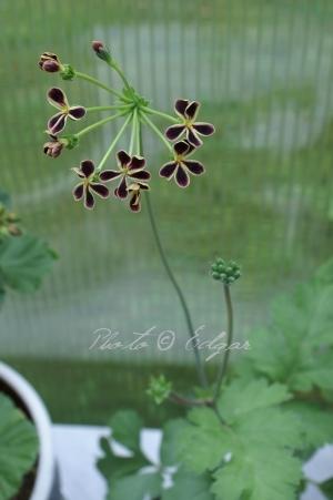 Glauciifolium