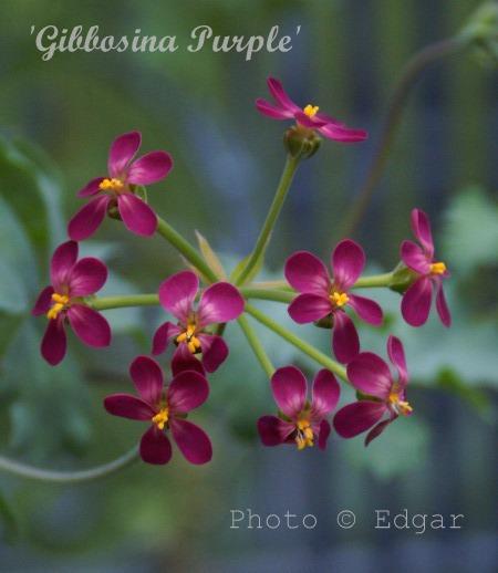 Gibbosina Purple