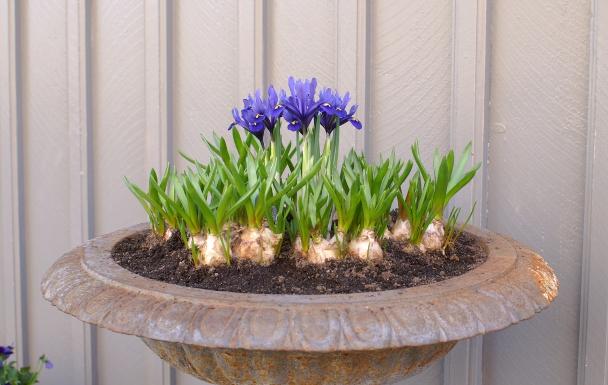Iris og perleblomst