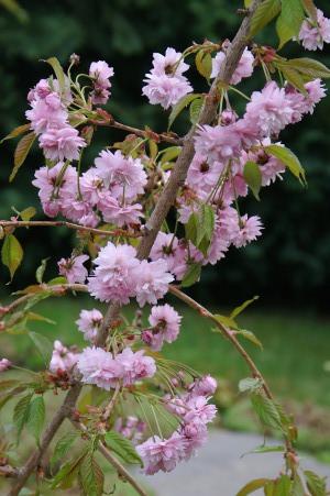 Prunus serrulata 'Kiku-shidare-zakura'