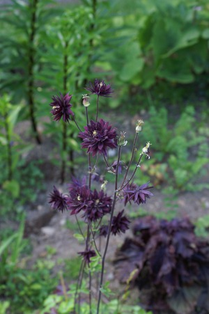 Mørk akeleie og mørk bladmynte