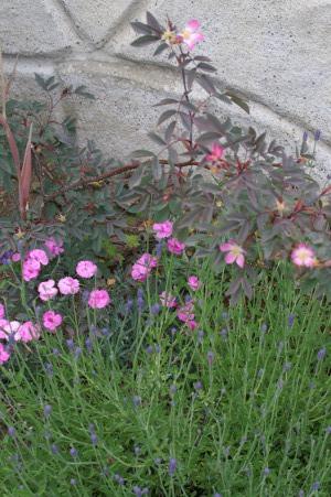 Nellik og rose
