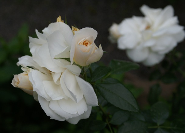 'Lions Rose'