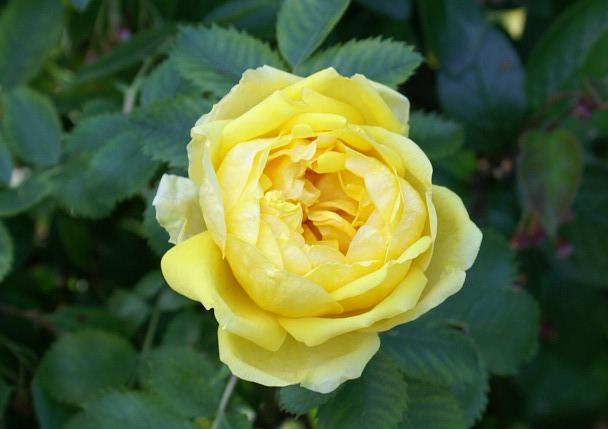 Persian Yellow