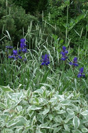 Iris, kornell og prydgress