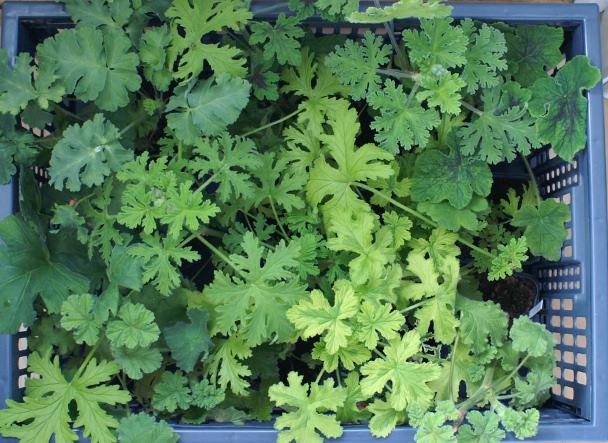 Pelargoniumstiklinger