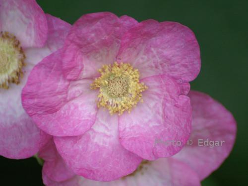 Rosebær