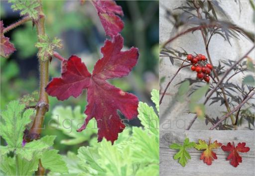 Pelargonium og nyper