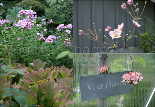 Phlox, Anemone, pelargonium