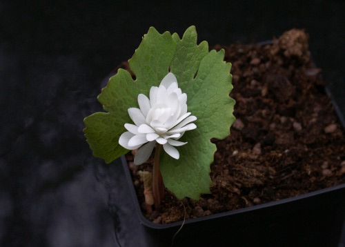 Sanguinaria canadensis 'Plena'