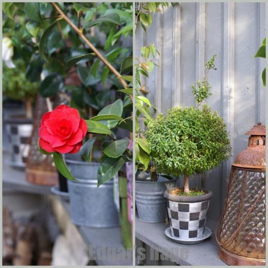 Camellia og myrt