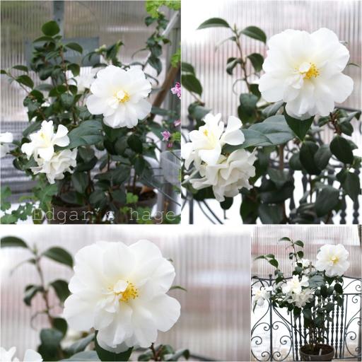 Camellia 'White Swan'