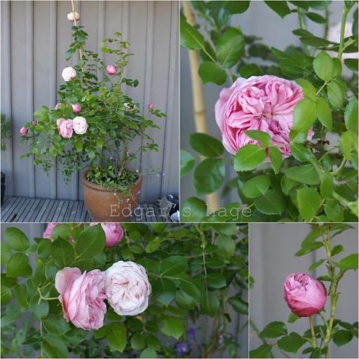 Rose 'Giardina'