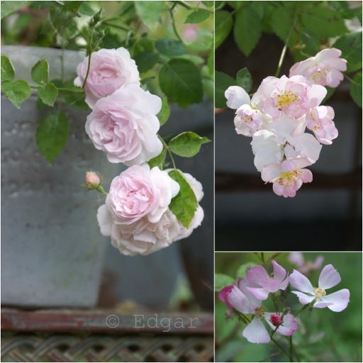 R. multiflora 'Garden Party'
