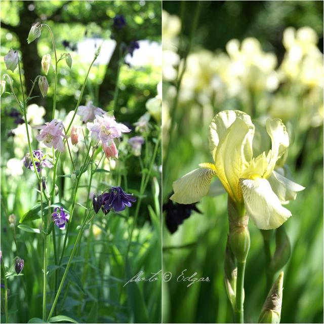 Akeleier og iris