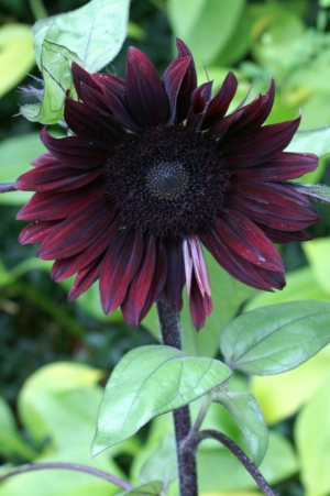Helianthus annuus Moulin Rouge