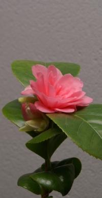 Camellia japonica - rosa