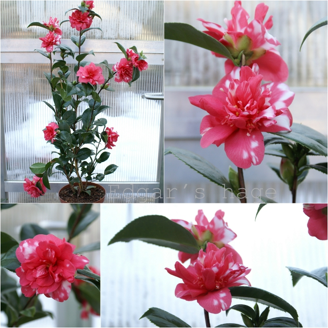 Camellia japonica - pink and white