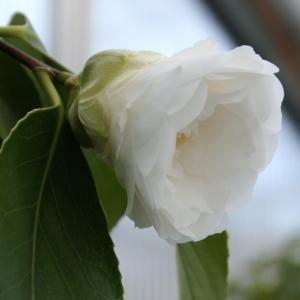 Camellia japonica - hvit