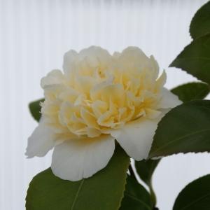 Camellia - blekgul