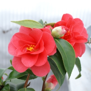 Camellia japonica - red