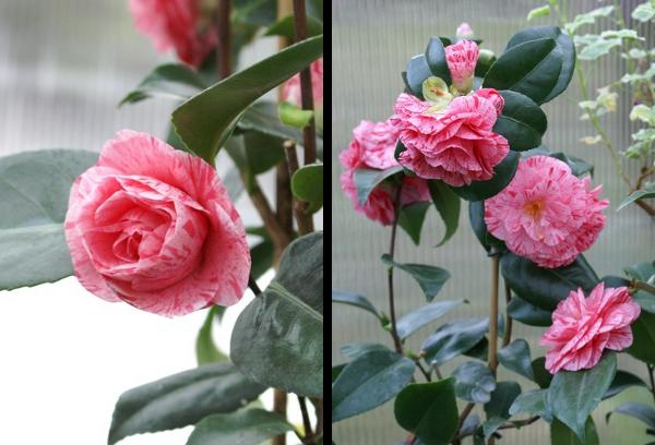 Camellia 'Kick Off'