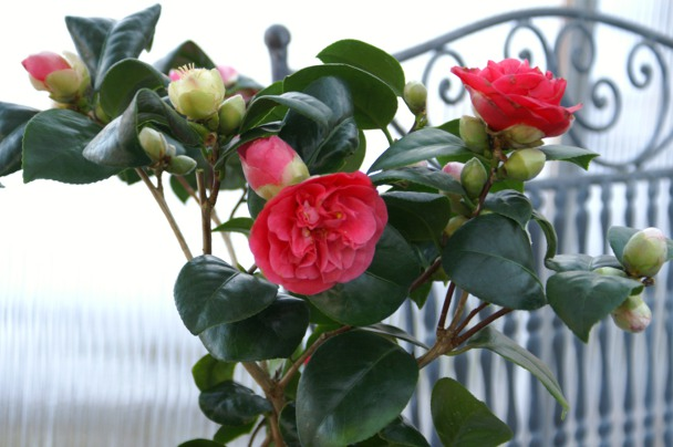 Camellia 'Lady Campbell'