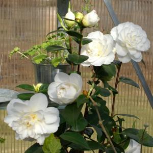 Camellia 'Swan Lake'