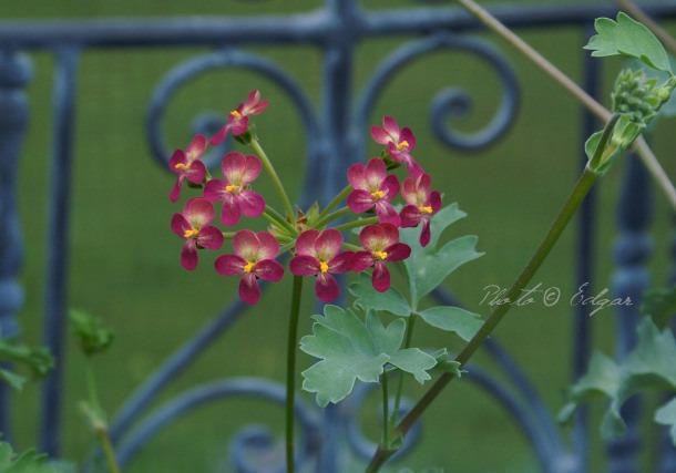 Gibbosina Orchid