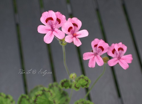 P. alpinum