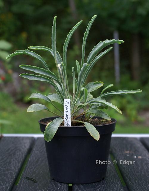 P. coronopifolium