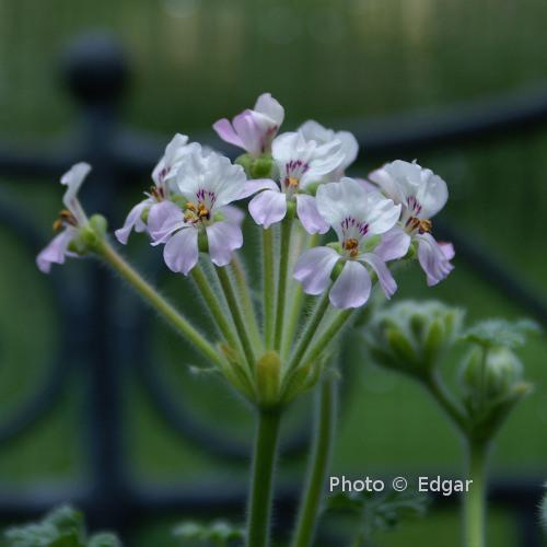 P. cortusifolium