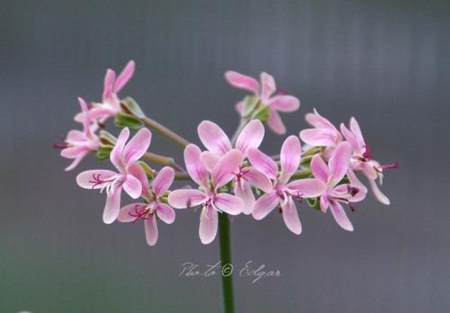 P. gibbosum x P. anethifolium