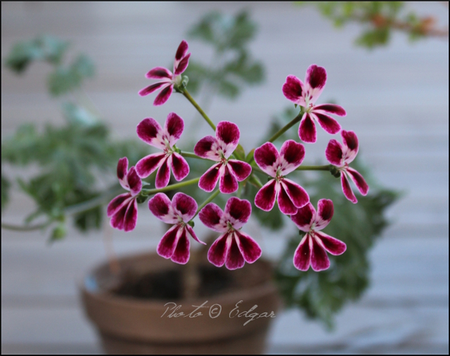 P. anethifolium x P. fulgidum