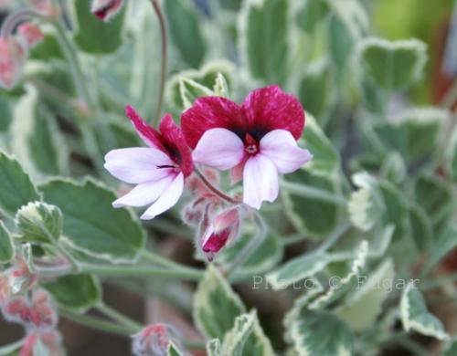 Variegert P. ovale x P. tricolor