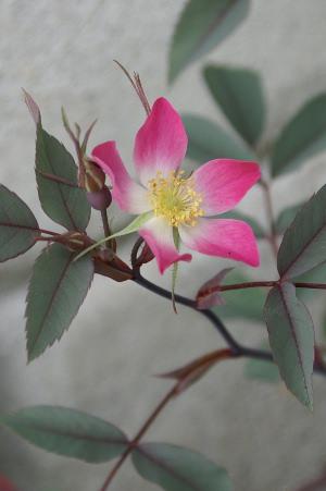 Rosa glauca