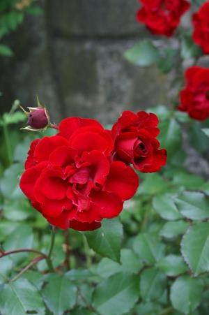 Ukjent rød rose